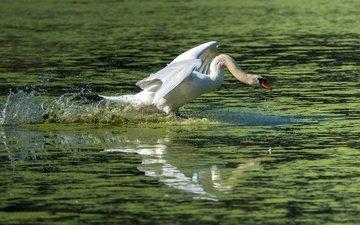 вода, водоем, брызги, птица, взлёт, лебедь, взмах крыльев