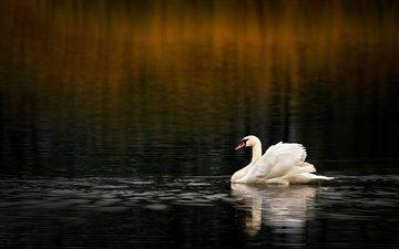 вода, водоем, птица, темный фон, плавание, лебедь, боке