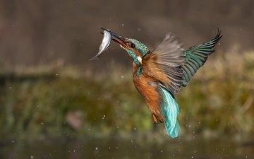 вода, капли, брызги, птица, рыба, зимородок, улов