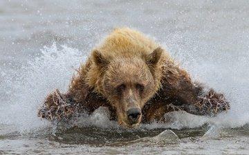 вода, медведь, зверь