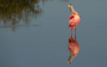 вода, отражение, водоем, птица, розовая колпица