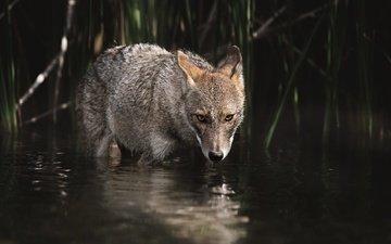 вода, взгляд, водоем, темный фон, купание, волк, койот