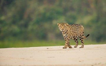 взгляд, ягуар, дикая кошка, боке