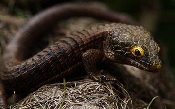 взгляд, ящерица, темный фон, коричневая, боке
