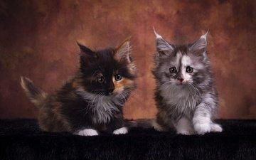 взгляд, котенок, кошки, котята, друзья, мейн-кун