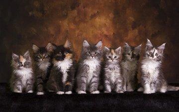 взгляд, котенок, кошки, малыши, котята, друзья, мордочки, мейн-кун