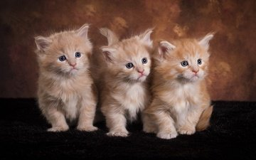 взгляд, котенок, кошки, малыши, котята, друзья, мордочки, рыжие, мейн-кун