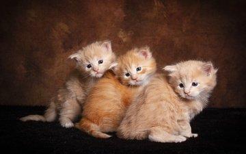 взгляд, котенок, кошки, малыши, котята, друзья, мордочки, сидят, рыжие, мейн-кун