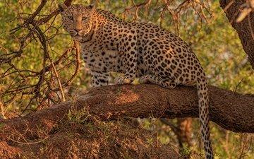 взгляд, леопард, дикая кошка, на дереве