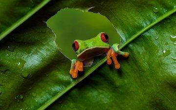 взгляд, листок, лягушка, дырка, отверстие, древесная лягушка, красноглазая квакша