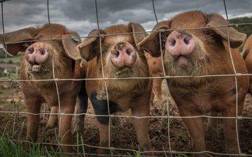 забор, свинья