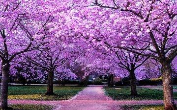 цветы, деревья, цветение, парк, дорожка, ветки, лепестки, азия, весна, сакура, сквер