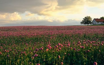 цветы, дом, домик, тюльпаны, розовые, плантация