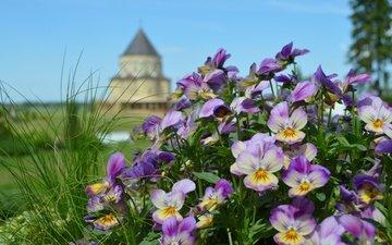 цветы, природа, замок, башня, анютины глазки, клумба, боке, сиреневые
