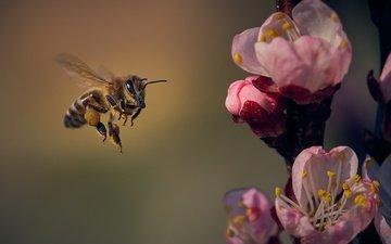 цветы, природа, цветение, насекомое, лепестки, крылья, весна, пчела